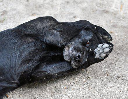 Dog, Play, Black, Truffle, Snout, Paw, Animal, Domestic