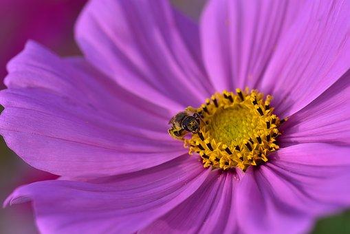 Cosmea, Cosmos, Blossom, Bloom, Flower, Plant, Summer