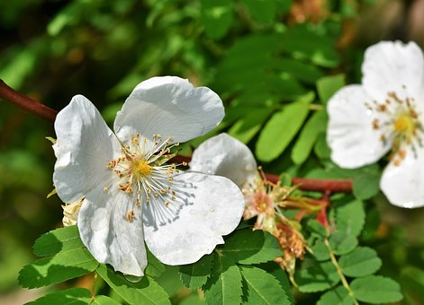 Anemone, Large Anemone, Blossom, Bloom, Flower, White