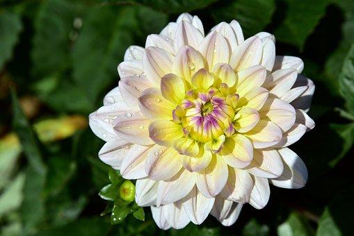 Dahlia, Bloom, Blossom, Bloom, Flower, Yellow, White