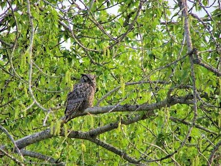 Great Horn Owl, Owl, Horn, Great, Bird, Tree, Branch