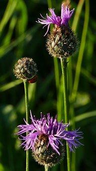 Nature, Landscape, Thistle, Meadow, Sun, Light, Bud