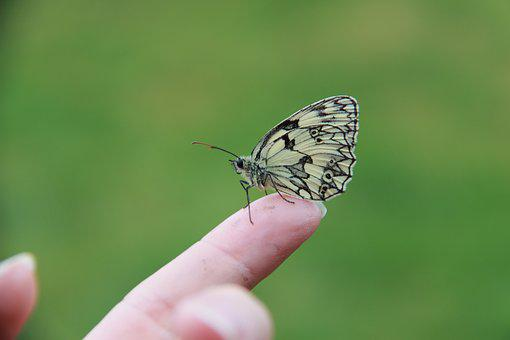 Butterfly, Half-mourning, Insect, Moth