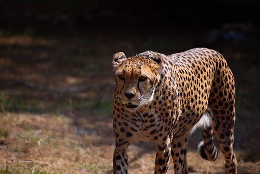 Cheetah, Big Cats, Predator, Big Cat, Wild Animal