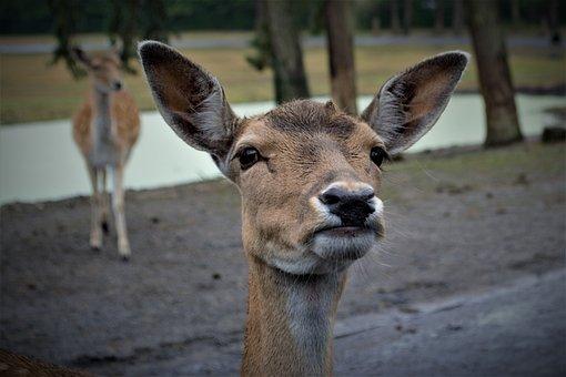 Roe Deer, Curious, Head, Fallow Deer, Close Up, Mammal