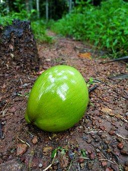 Coconut, Tender Coconut, Green Coconut, Kerala