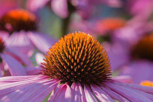 Coneflower, Echinacea, Summer, Nature, Flower, Plant