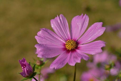 Cosmea, Kosmee, Cosmos, Flower Garden, Flower, Blossom
