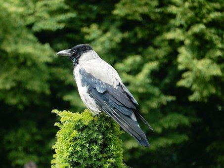 Jackdaw, Bird, Carrion Crow, Grey, Black, Animal, Crow
