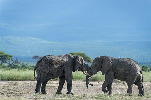 Elephant, Animal, Kenya, Fangs, Nature, Desert, Heavy