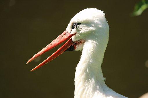 Stork, Rattle Stork, Bill, Bird, Head, Close Up, Eye