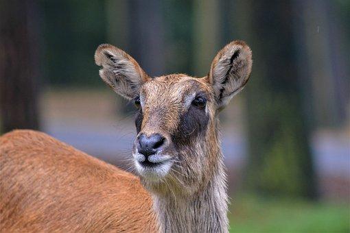 Waterbuck, Ellipses Water Bock, Close Up, Face, Head
