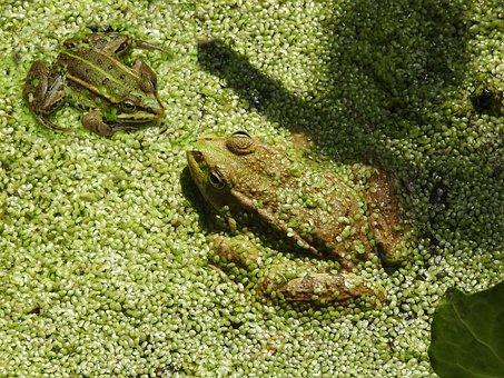 Frogs, Amphibians, Nature, Pond, Animal, Fauna