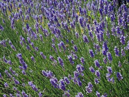 Flower Lavender, Wild Flowers, Wasp, Field Lavender