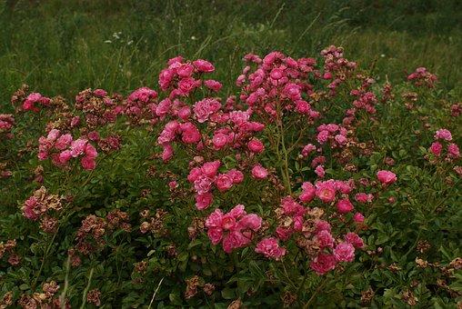 Flowers, Roses, Flower, Pink, Floral, Plant, Romantic