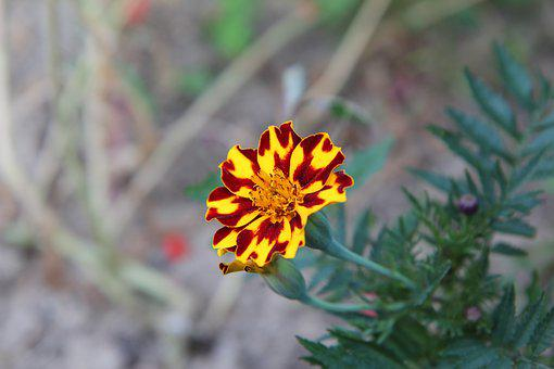 Carnation Of India, Tagetes, Flowering, Flower