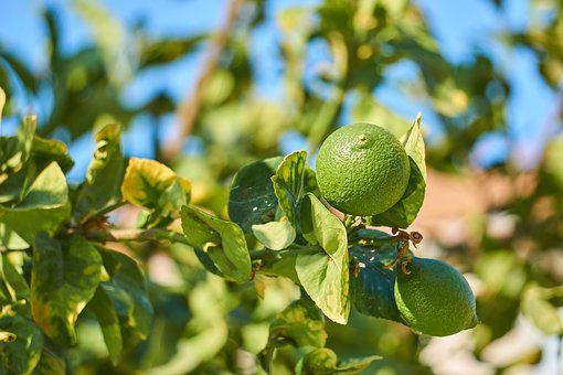 Cyprus, Lime, Citrus Fruits, Sun, Summer, Fruit