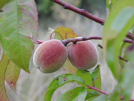 Peaches, Branch, Summer Fruit, Food, Fruit Tree, Fresh