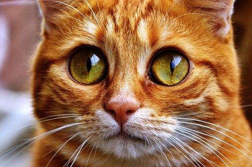 Cat, Funny, Mackerel, Fun, Goggle, Pet, Domestic Cat