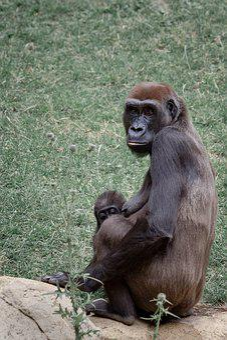 Gorilla, Ape, Gorilla Mother, Gorilla Child, Young