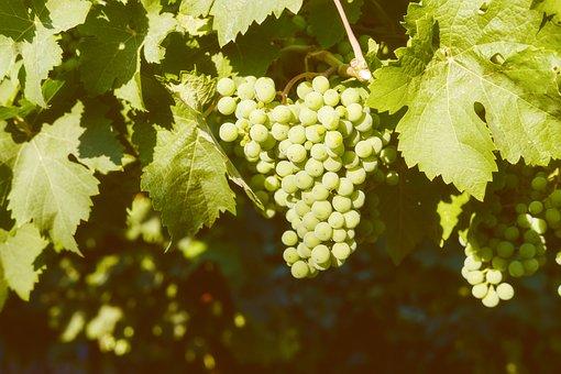 Grapes, Fruit, Vines, Rebstock, Wine, Vine, Sugar
