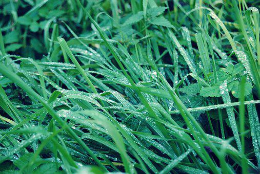 Grass, Rain, Drops, Green, Rosa, Wet, Leaf, Meadows