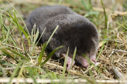 Mole, Mammal, Insect Eater, Blind, Eyes, Dig