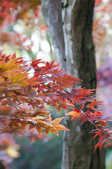 Japanese, Maple, Autumn, Leaves, Red, Nature, Japan