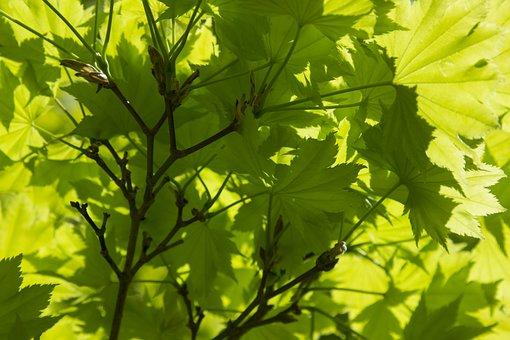 Backlit, Leaves, Spring Growth, Spring, Leaf, Tree