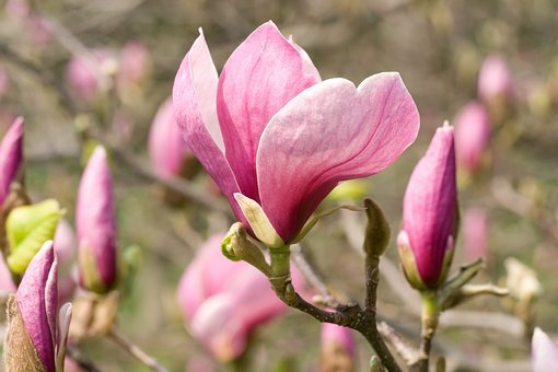 Magnolia, Blooms, Spring, Plant, Tree, Background