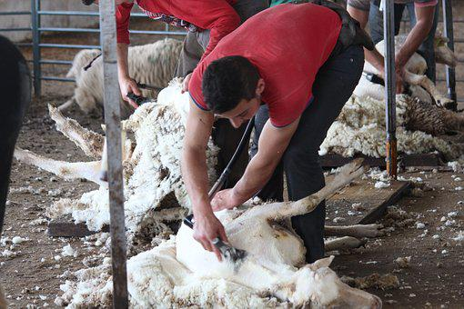 Shear, Shearing, Sheep, Merino, Wool, Animals