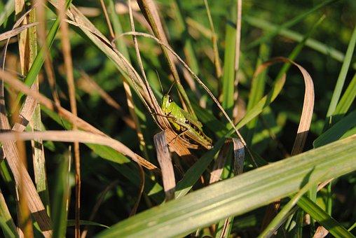 Grass, Autumn, Tettigonia Viridissima, Nature, Mood