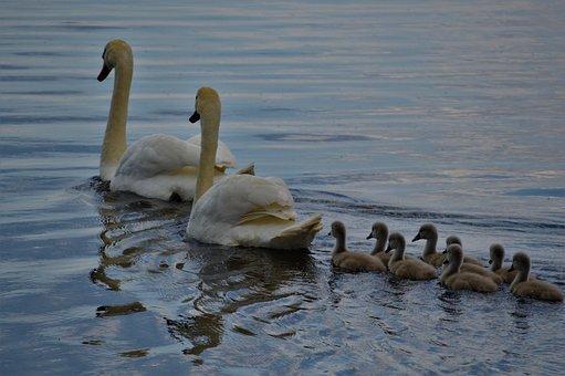 Swan, Family, Water, Lake, Animal, Bird, Swim, Nature