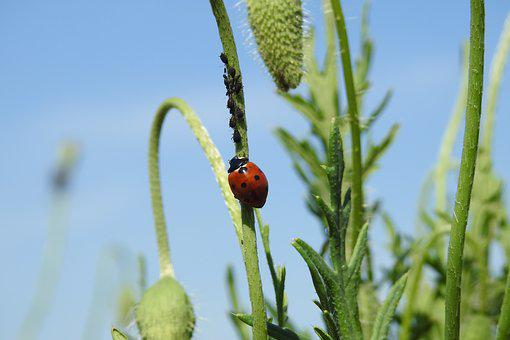 Poppies, Ladybug, Summer, Nature, Macro, Field, Closeup