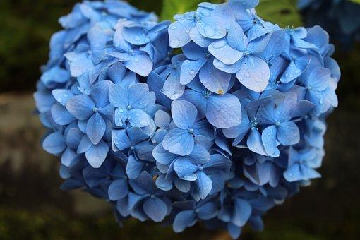 Blue, Flowers, Nature, Plants, Petals, Spring