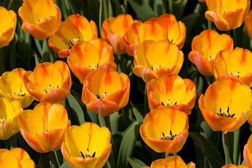 Tulip, Flower, Spring, Nature, Yellow, Red, Bloom