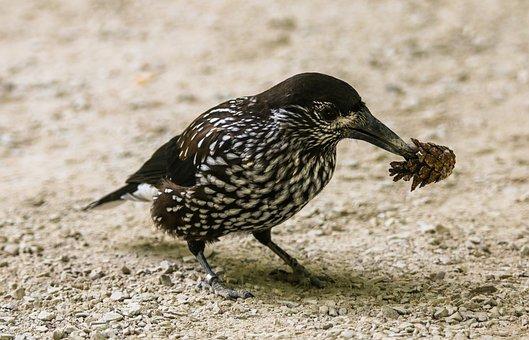 Animal World, Bird, Nutcracker, Food, Eat, Seeds, Bill