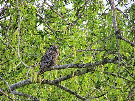 Great Horned Owl, Owl, Horned, Great, Bird, Tree
