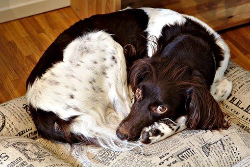 Dog, Animal, Pet, Sleep, Münsterländer