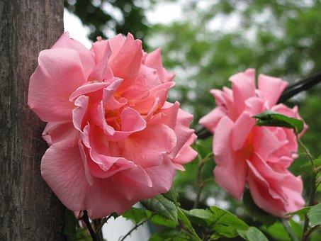 Roses, Flowers, Rose, Pink, Bloom, Love, Flora