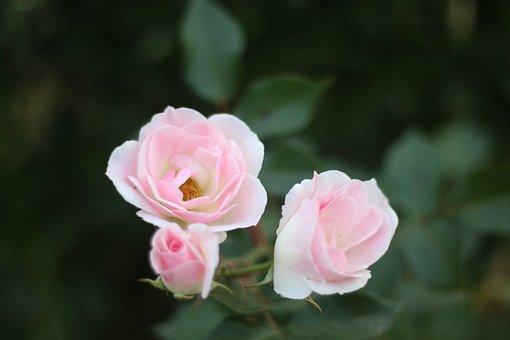 Flowers, Three, Pink
