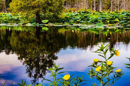Water Lilies, Mirroring, Water Reflection, Pond