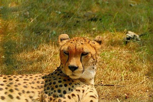 Gepardin, Cat, Portrait, Predator, Carnivores