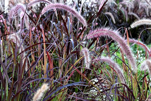 Grass, Purple Fountain Grass, Plant, Garden