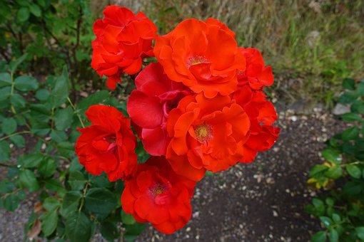 Rose, Bright, Red, Floribunda, Flower, Garden, Border