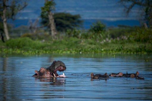 Hippopotamus, Africa, Safari, Hippo, Animals, River