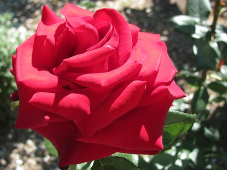 Rose, Red, Flower, Handsomely, Love, Flowers, Beautiful