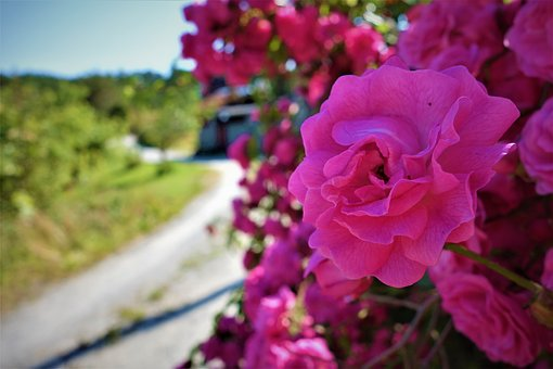 Flowers, Pink, The Nature Of The, Roses, Rose, Summer