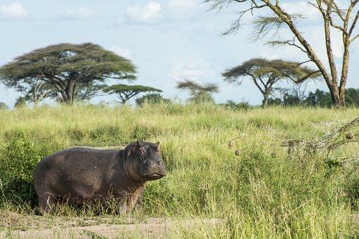 Hippo, Animal, Wild, Africa, Safari, Animals, Nature