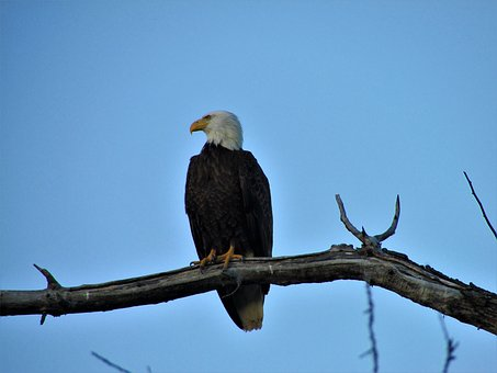 Bald Eagle, Tree, Branch, Eagle, Bald, Bird, Sky, Blue